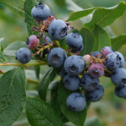 Blueberries_Large02212
