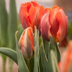 Garden Center Tulips