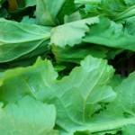 Lettuce (13)