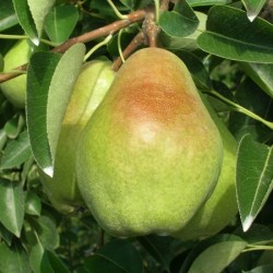 Pears Smaller