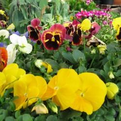 Garden Center pansy-beddingplants