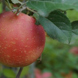 Fuji Apples - 1 A very sweet, crisp and juicy apple that is ideal for snacking, salads, pies, sauce or in baking.