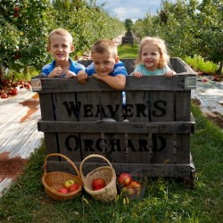 Weavers-Apple-Picking