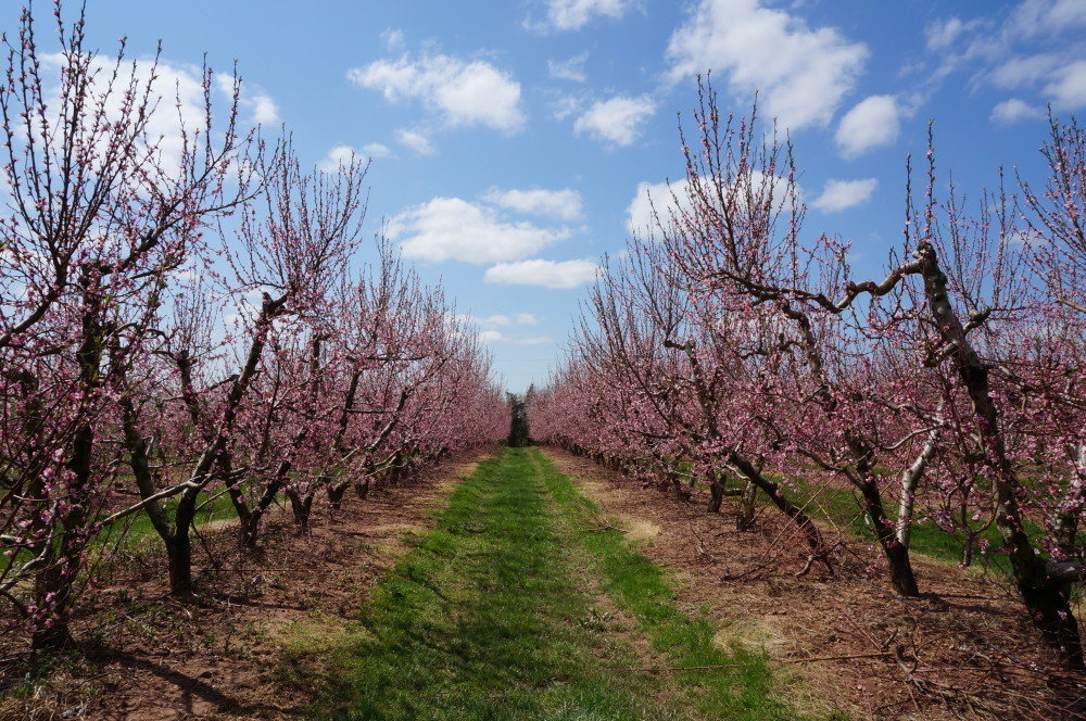 Pruning and keeping your fruit trees healthy weavers orchard - Spring trimming orchard trees healthy ...
