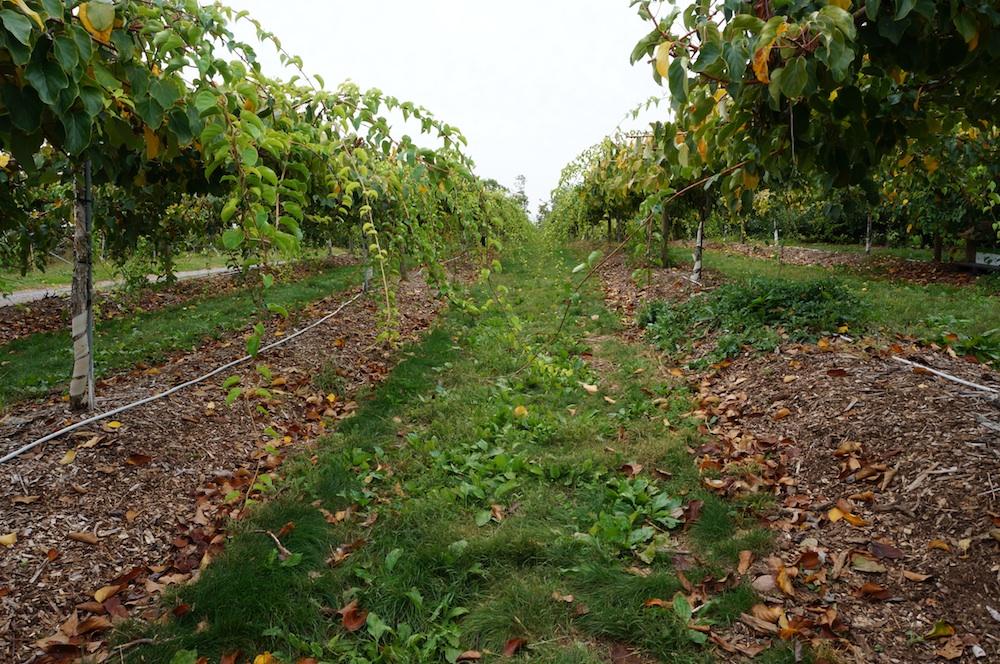Kiwiberry vines