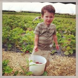 Ermold_Strawberries