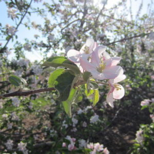 Spring Blossom Festival