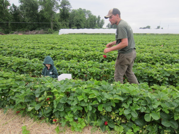 Justin and Joey in the Strawberry patch