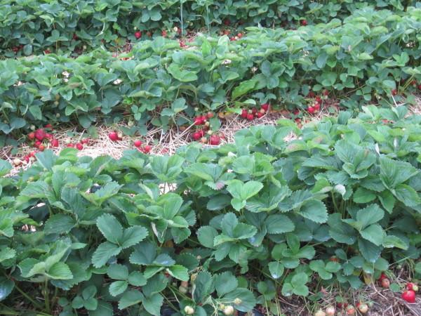 abundance of berries waiting to be picked