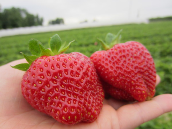 look at the size of those strawberries