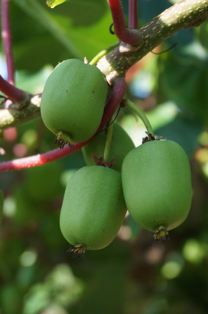 Kiwiberry-Vines-1000-0246