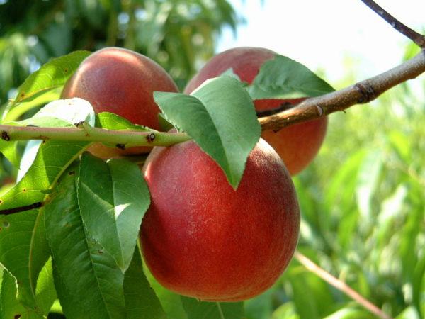 Fruit-peaches3