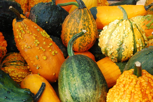 Dried Gourds For Diy Fall Decor Weavers Orchard