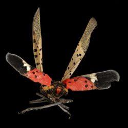 648px-Spotted_Lanternfly,_back_2017-06-16-16.50_(35006932160)