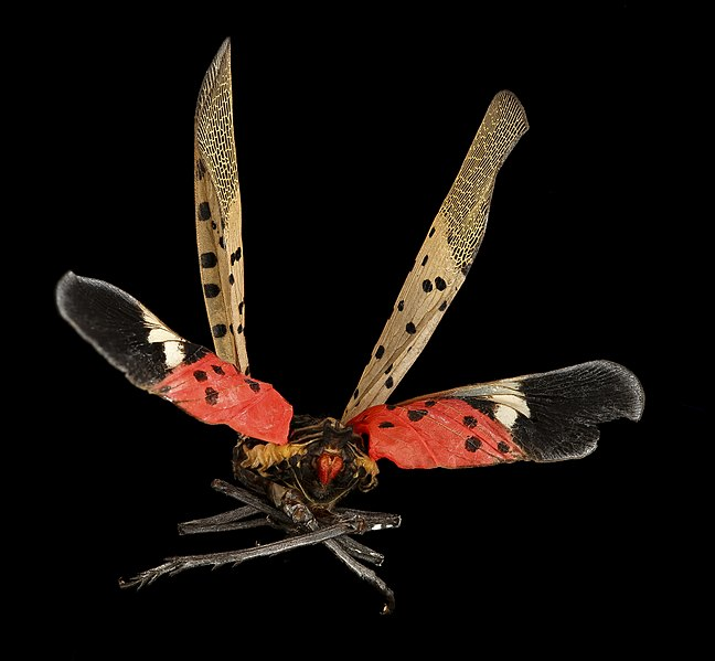 Controlling and Containing the Spotted Lanternfly ...
