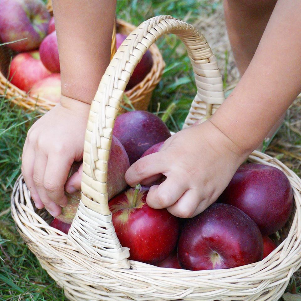 Picking apples into a basket
